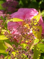 Spiraea buds and hidden rose by TinyWild