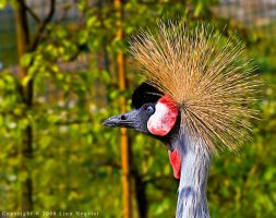 African Crested Crane by XElimoX