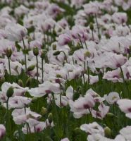 pale poppies by sandyprints