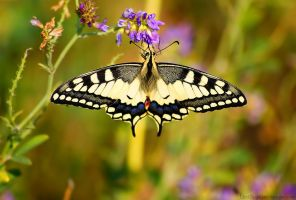Summer Machaon by Samantha-meglioli