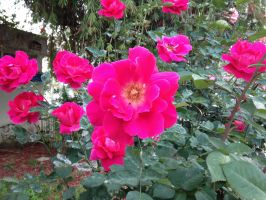 Rose and Ladybug - a wider shot by morgause1