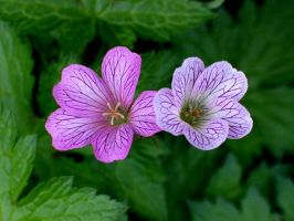 Wild Geraniums 2 by DWALKER1047