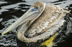 Brown Pelican 4 by BlueMoon30