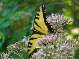 Tiger Swallowtail Butterfly 3 by NemoNameless