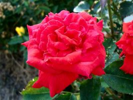 Red Rose II by MikeHungerford