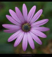 Osteospernum In Purple by GMCPhotographics