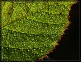 Blackberry leaf 20D0036633a by Cristian-M
