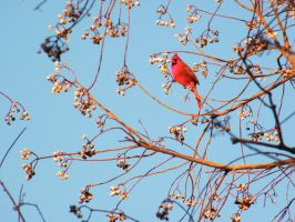 Cardinal in Mississippi... by iluvobiwan91