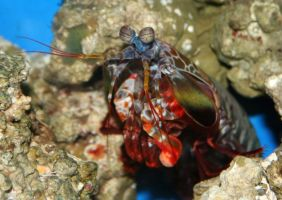 Denver Aquarium Shrimp 53 by Falln-Stock
