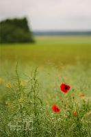 Mohn 4 by SpaceDog500