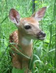 Fawn in the Meadow 3b by Windthin