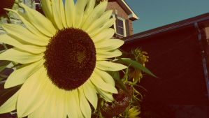 sunflower in the sunset by perkinsi