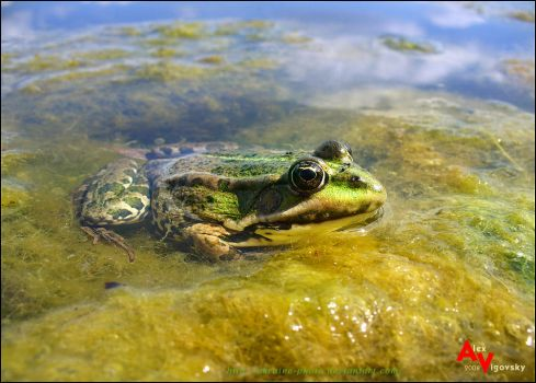 Just Frog by ukraine-photo