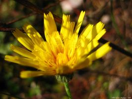 Crepis by ThereseBorg