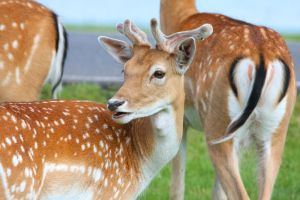 Fallow Deer by Daniel-Wales-Images