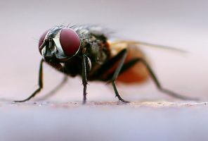 Housefly 01 by josgoh