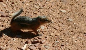 Golden Mantled Ground Squirrel by NycterisA