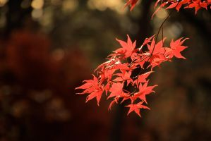 Leaves-red by joelht74