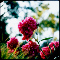 Instant Peonies by ACBusse