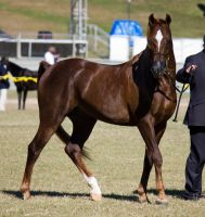STOCK - Gold Coast Show 015 by fillyrox