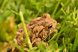 American Toad by terceleto
