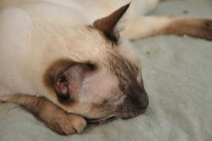 Robriel-Stock Siamese Cat 2 by Robriel-Stock