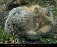 Sleepy Swift Fox 1 by SalsolaStock