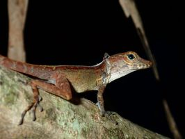 Anole 2 by slmswim