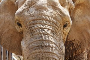 Male african elephant by deliquescing