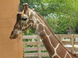 Meh Giraffe - Little Rock Zoo by ladybeastcharmer