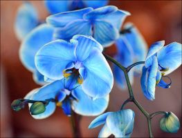 Blue Orchid by FrankAndCarySTOCK