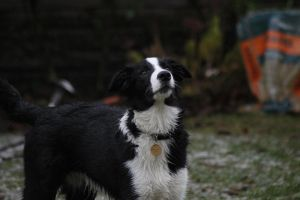 Collie Dogs 21 by Tasastock