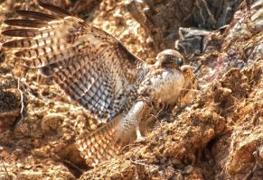 Hawk by WesHPhotography