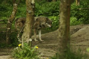wolve by marob0501