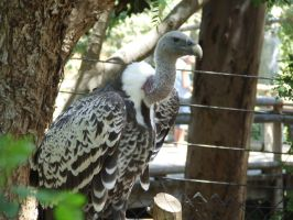 Vulture 1 by dtf-stock