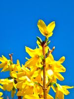 Forsythia by cooler81