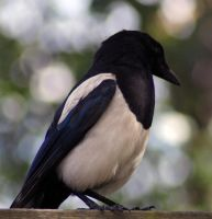 Magpie 2 by decors