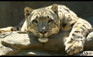 Snow Leopard_5425 by MASOCHO