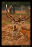 Red Deer Stag Portraits by andy-j-s