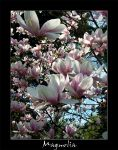 Flowers of Magnolia by Nuavar