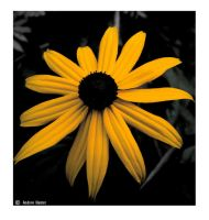 Black Eyed Susan by GeminiArtNStock