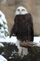 Bald Eagle 4 by MegMarcinkus