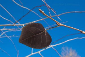 Aspen leaf by melly4260