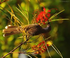 Feeding Honeyeater by cpool