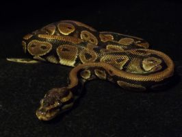 Eden the Ball Python! by SaltyPuppy