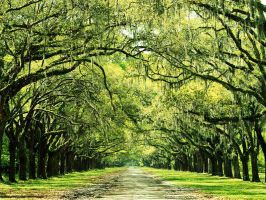 Old Plantation Driveway Stock by FairieGoodMother