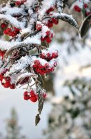 Snow Berries by MUNRO-JAMIE