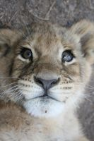 Lion Cub III by RaeyenIrael-Stock