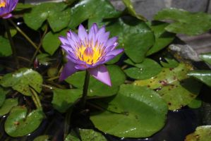 Water lilly 1087 by fa-stock