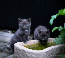 Grey kittens by Shinynx